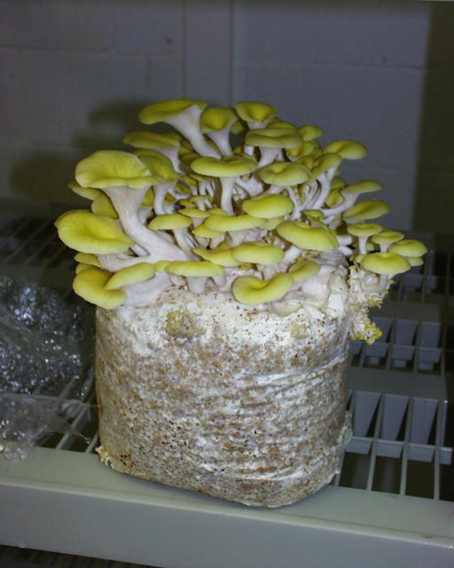 Peroxide in Mushroom Growing FAQs